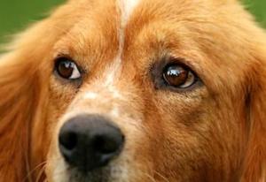 Goldiger Hund