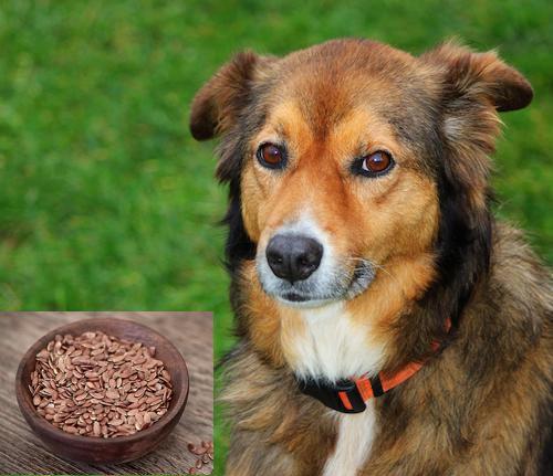 Leinsamen für den Hund können in einigen Fällen sinnvoll sein