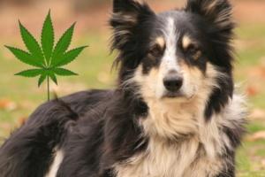 Hanföl für Hunde