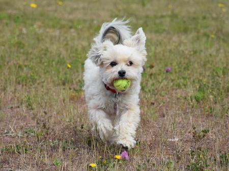 Hund mit Ball im Mund