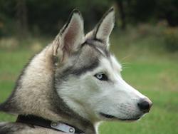 Husky schaut nach rechts