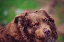 Brauner Hund