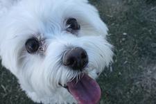 Kleiner weisser Hund