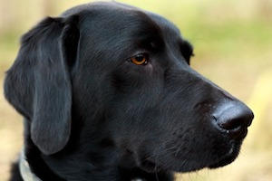 Schwarzer Hund Kopf