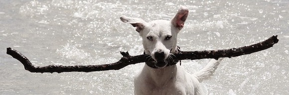 Hund mit Stöckchen im Wasser