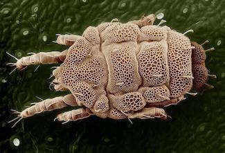 Milben lösen Räude aus