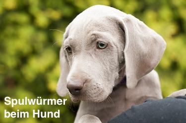 Spulwurmer Beim Hund Symptome Und Passende Wurmkur