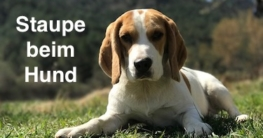 Staupe beim Hund