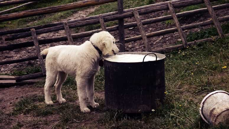 Hund trinkt Milch