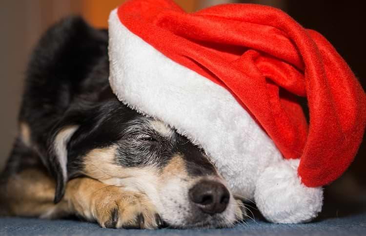 Hund an Weihnachten