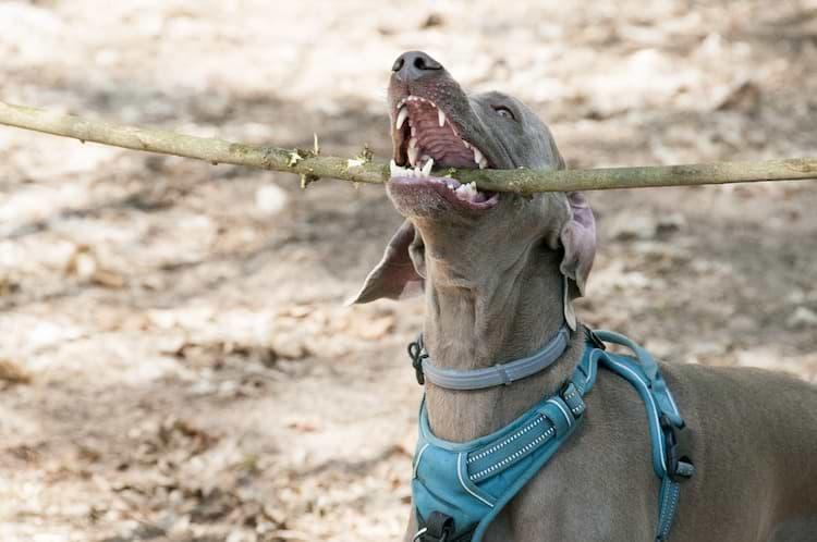 Hund mit scharfen Zähnen