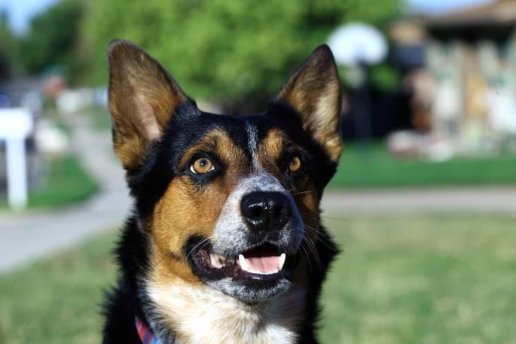Hund mit spitzen Ohren